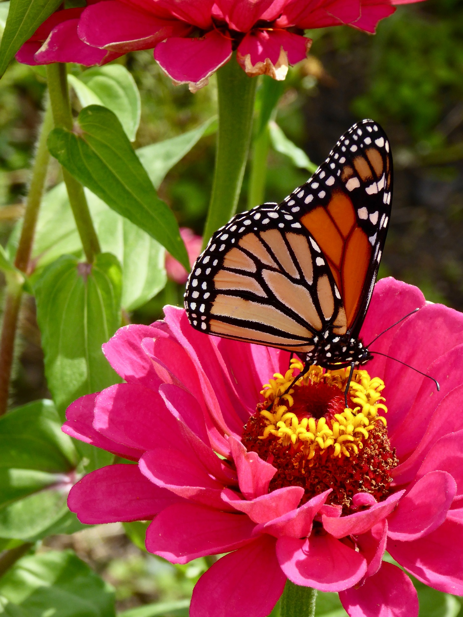 Butterfly feasting on flower